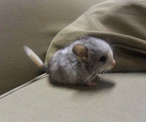 animal, baby animal, and Chinchilla image
