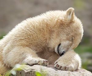 baby animals, bears, and cute animals image