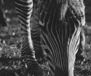 animal, Zambia, and black and white image