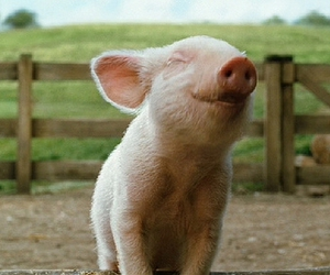 pig, cute, and happy image