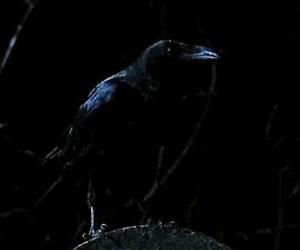 crow, Fantastik, and black image