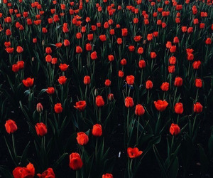 flowers, red, and tulips image