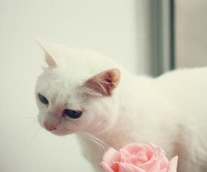 cat, rose, and pink image