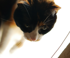 calico, cat, and cats image