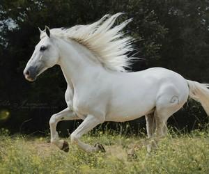 andaluz, caballo, and caballos image