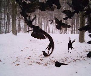 bird, snow, and crow image