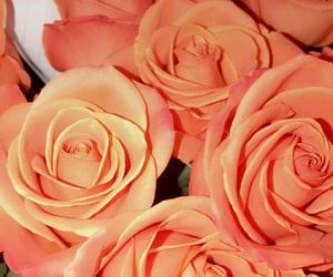 flowers, orange, and roses image