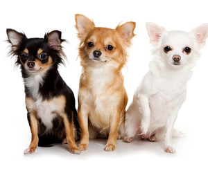 chihuahua, dog, and dogs image
