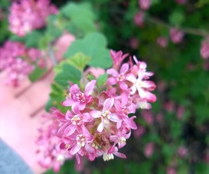 nature, pink, and flower image