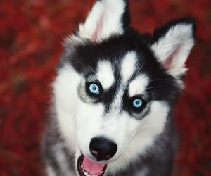 dog, animals, and blue eyes image