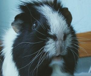 animals, blackandwhite, and guinea pig image