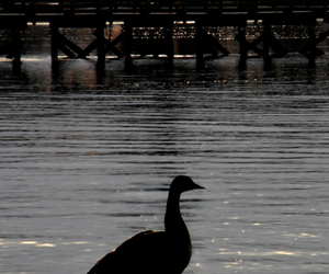 shine, goose, and lake image