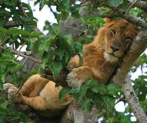 lion, tree, and animal image