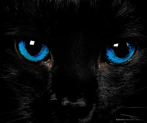 blue eyes, black cat, and cat image