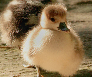 baby animals and ducklings image