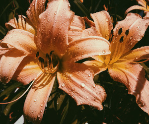 lilies image