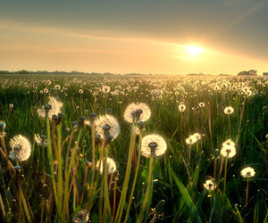 sun, dandelion, and sunset image
