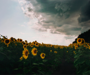 nature, flowers, and sunflower image