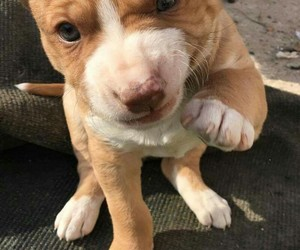 dog, american staffordshire, and cute image