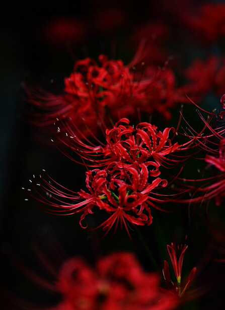 57 images about Red Spider Lily ( Lycoris Radiata) on We Heart It | See more about red, flowers and red spider lily