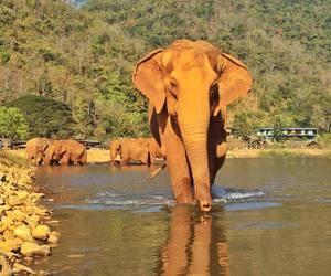 elephant and asianelephant image