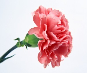 flowers and carnation image