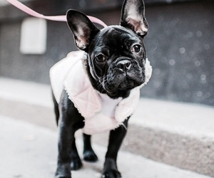 dog, french bulldog, and puppy image