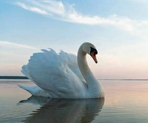 Swan and animal image