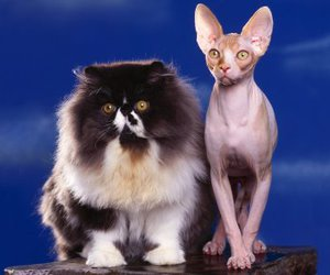 cats, fluffy, and sphynx image