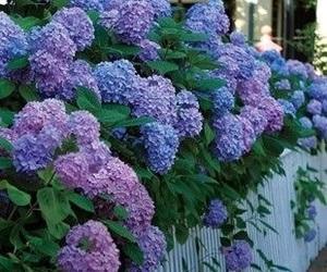 flowers and hydrangea image