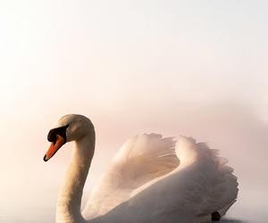 animal, wallpaper, and Swan image