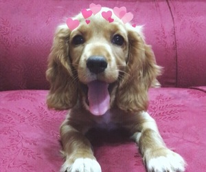cocker spaniel, cute dogs, and sookie image