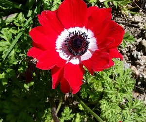 anemone, flower, and white image