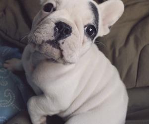 bulldog, dog, and puppy image