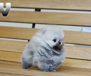 adorable, grey, and pomeranian image
