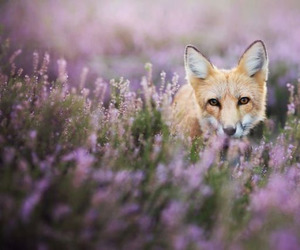fox, pet, and spring image