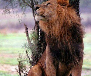 Animales, lion, and wallpapers image
