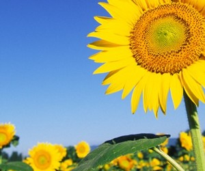 beautiful, sunflower, and blue image