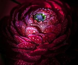 flower, ranunculus, and bordò image