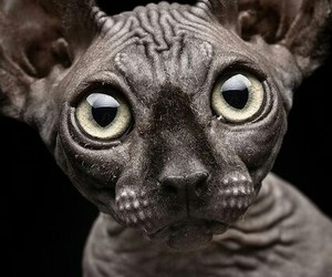 cat, black, and sphynx image