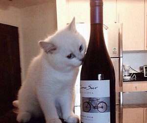 cat, white, and wine image