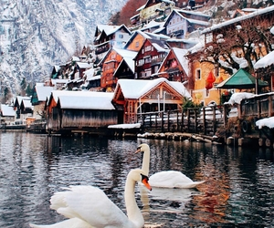 swans and winter image