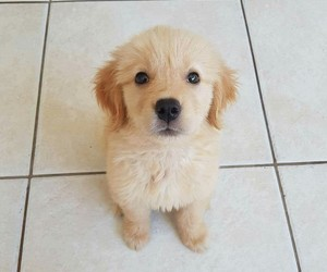 dog, golden, and puppy image