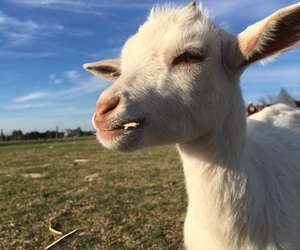aesthetic, baby blue, and baby goat image