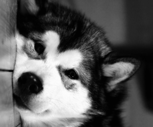 b&w, dogs, and pets image