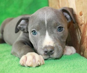 puppy, cute, and pitbull image