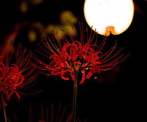night, red spider lily, and higanbana image
