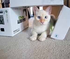 blue eyes, cat, and white image