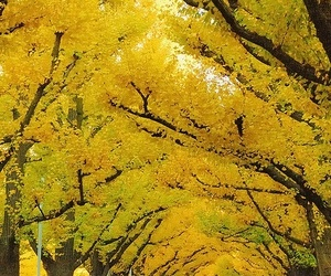 yellow, autumn, and tree image