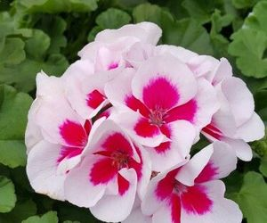 flowers and geraniums image